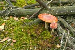 2 toadstools в лесе Стоковые Фотографии RF