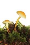 2 toadstools в мхе Стоковые Изображения RF
