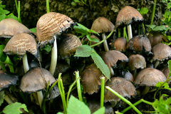 Toadstools в древесинах под деревом Стоковые Фотографии RF