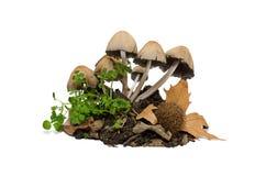 Toadstools - грибы Стоковое фото RF