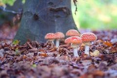 Toadstools пластинчатого гриба мухы запятнанные в древесинах Стоковая Фотография
