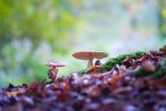 Toadstools пластинчатого гриба мухы запятнанные в древесинах Стоковые Фотографии RF