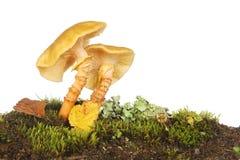 Toadstools растя в мхе Стоковое фото RF