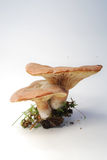 Toadstools Royalty Free Stock Photos
