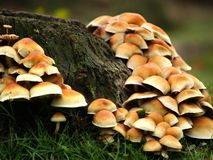 Toadstools. Lots of toadstools around a treetrunk Royalty Free Stock Photos
