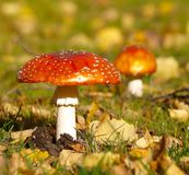 Toadstools Images stock