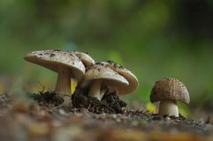 Toadstools Stock Images