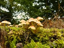 Toadstools. Bunch of Toadstools on mossy tree stump Stock Image