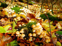 Toadstools and Autumn Leaves Royalty Free Stock Photography