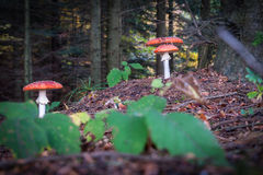 Toadstools in dark forest Stock Photography