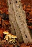 Toadstools em uma floresta. fotografia de stock