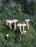 Toadstools en musgo del bosque imagen de archivo