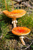 Toadstools in a forest Stock Photography