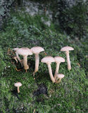 Toadstools on forest moss Stock Image