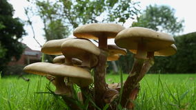 Toadstools on a garden lawn. Group of toadstools on a lawn in an English country garden stock video