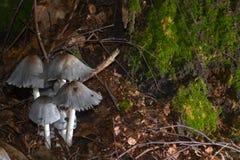 Toadstools gray. Conical Brittlestem Fungi - Psathyrella conopilus Stock Photos
