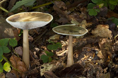 Toadstools (Melanoleuca) Royalty Free Stock Photography