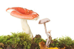 Toadstools in moss Royalty Free Stock Photo