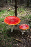 Toadstools or Red Amanita in the wood Royalty Free Stock Images