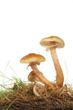 Toadstools Stock Image