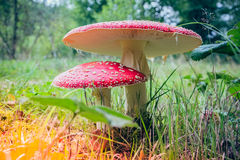 Toadstools in sunlight Royalty Free Stock Images