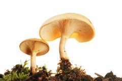 Toadstools viewed from below Stock Photography