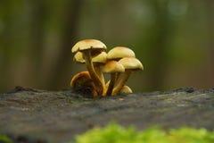 Toadstoolson un tocón de árbol Foto de archivo libre de regalías
