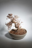 Toasted bonsai Stock Images