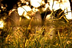 Tall grass field in the sun stock image