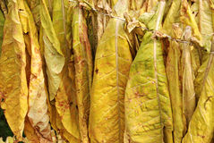 Tobacco 04. Classical way of drying tobacco Royalty Free Stock Image