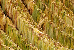 Tobacco 06. Classical way of drying tobacco Royalty Free Stock Photos