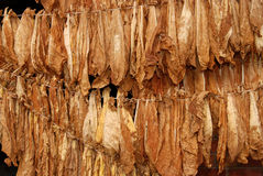 Tobacco 07. Classical way of drying tobacco Royalty Free Stock Images