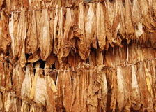 Tobacco 08. Classical way of drying tobacco Stock Images