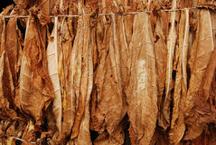 Tobacco 10. Classical way of drying tobacco Stock Images