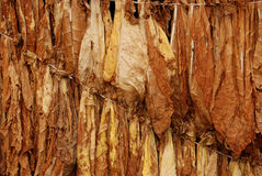 Tobacco 11. Classical way of drying tobacco Royalty Free Stock Image
