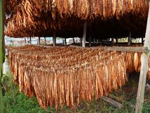 Tobacco. Drying tobacco; tobacco texture; tobacco plantation; flowers and leaves tobacco; Nicotiana tabacum; harvest time stock photo