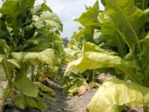 Tobacco. Plants in the field prior to harvest Stock Photos