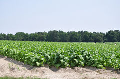 Tobacco. Field of tobacco plants in North Carolina Stock Images