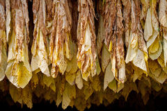 Tobacco. Row of tobacco leaves curing in a barn Stock Images