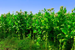 Tobacco. Plantation - field of tabacco plant Royalty Free Stock Photos