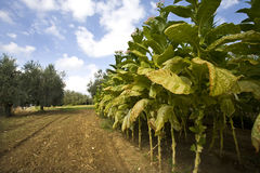 Tobacco. Planting of tobacco and olive trees Stock Images