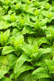 Tobacco cultivation, Azores Islands, Portugal Stock Image