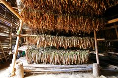 Tobacco Curing in Barn, Cuba Stock Photo