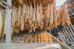 Tobacco curing barns Stock Photography