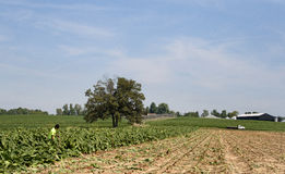 Tobacco cutting. A partially harvested field of tobacco in early August. Typically August days in western Kentucky are 90+ degrees and high humidity making some Royalty Free Stock Image