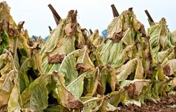 Tobacco Drying in the Field Stock Photos