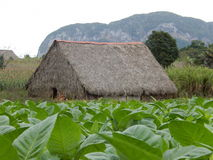 BARN IN THE FIELD OF TOBACCO, VINALES CUBA Stock Photography