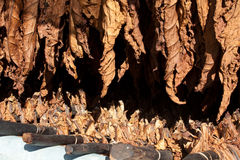 Tobacco drying leafs. Tobacco leafs, hanged to dry before processing Royalty Free Stock Photo