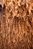 Tobacco drying leafs. Tobacco leafs, hanged to dry before processing Royalty Free Stock Images