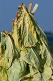 Tobacco Drying Royalty Free Stock Photo